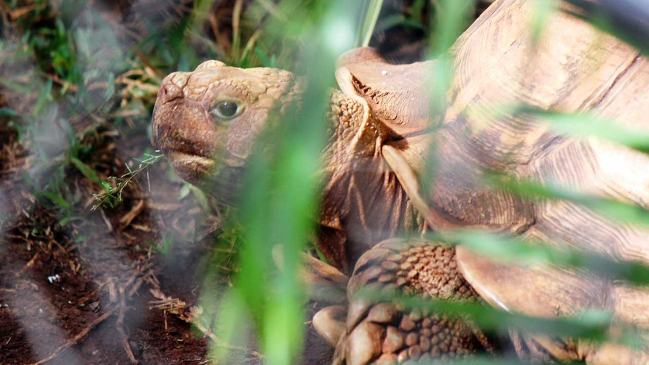 African Spurred-Thighed Tortoise