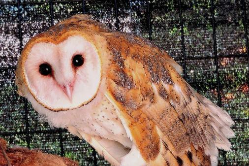 Barn Owl - Honolulu Zoo Society