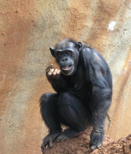 Chimpanzee-4