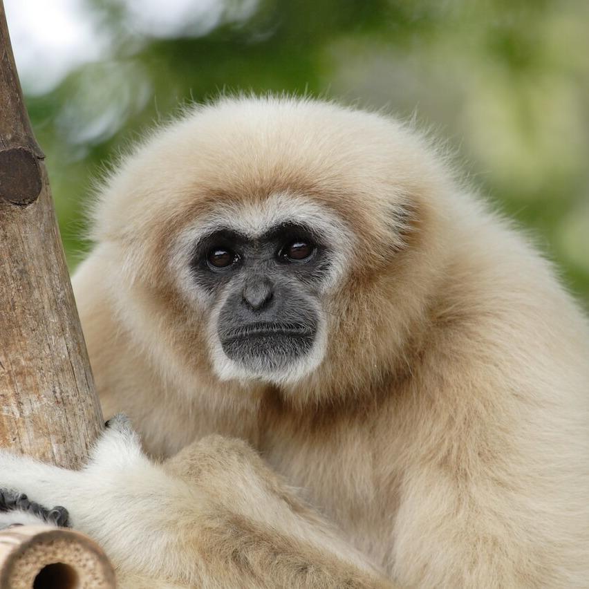Gibbon-1