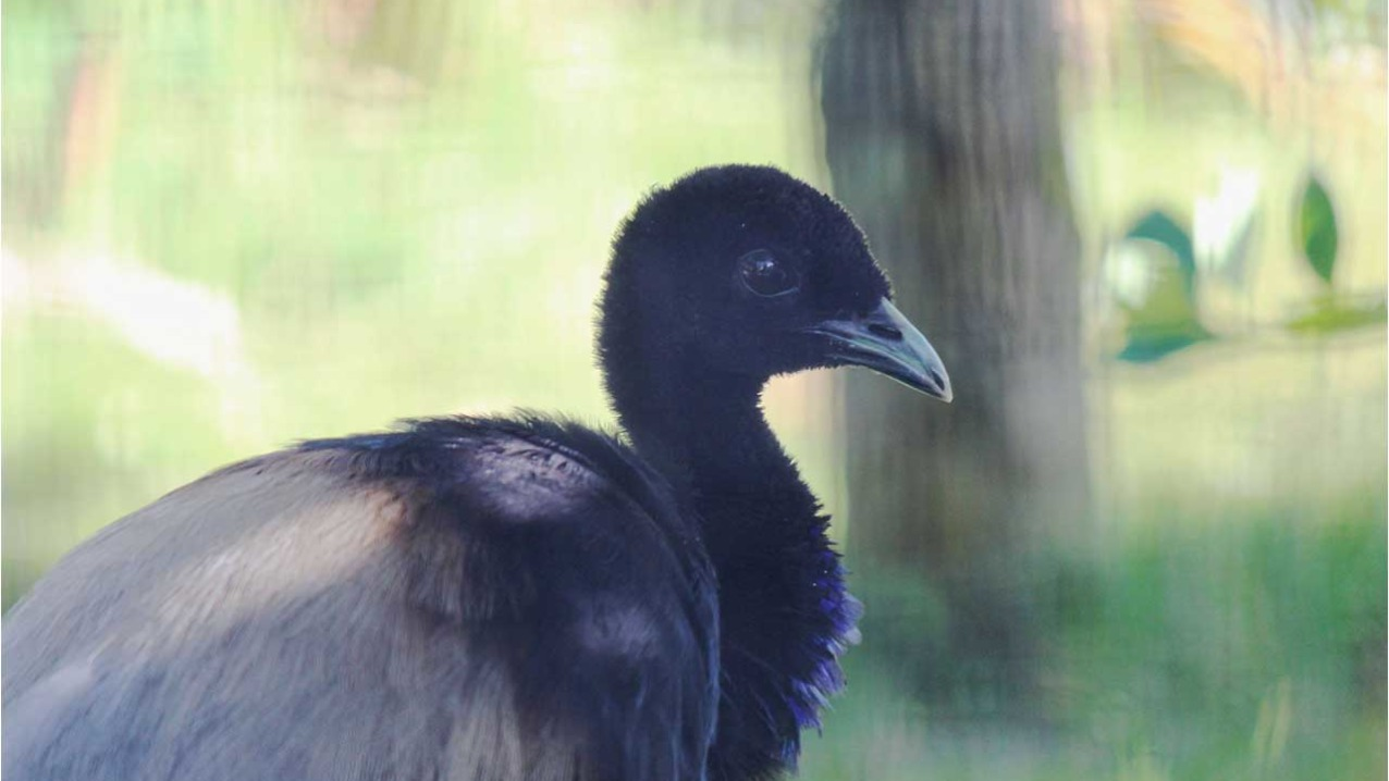 Grey-winged Trumpeter