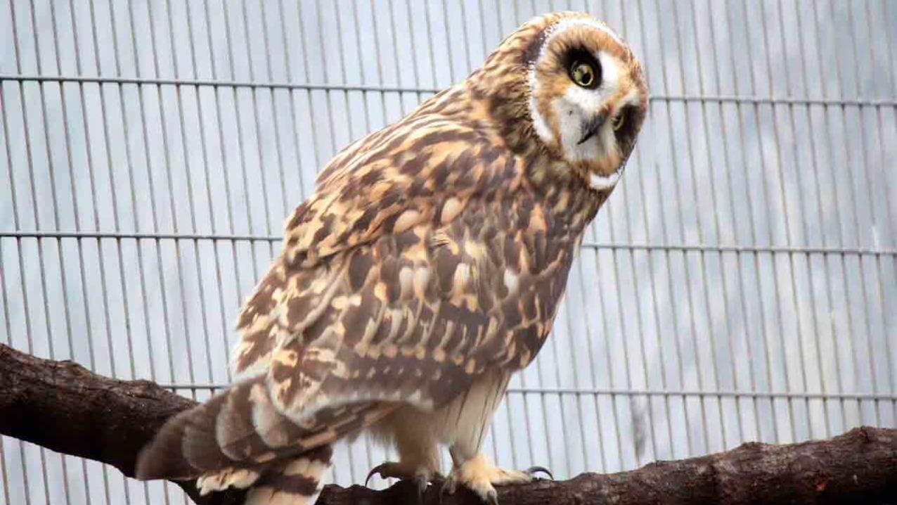 Hawaiian Short Eared-Owl (Pueo)
