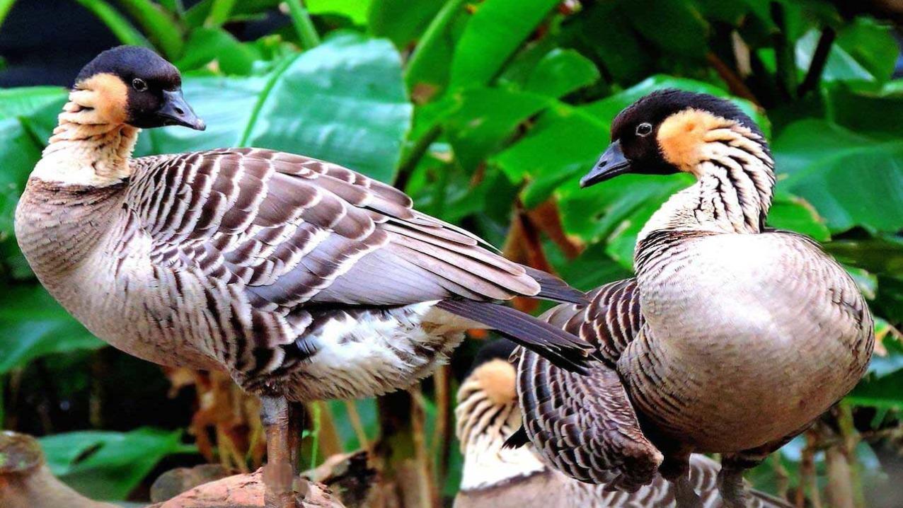 Hawaiian Goose (Nēnē)