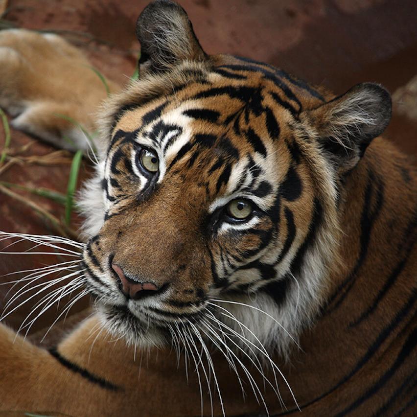 Sumatran-tiger-1