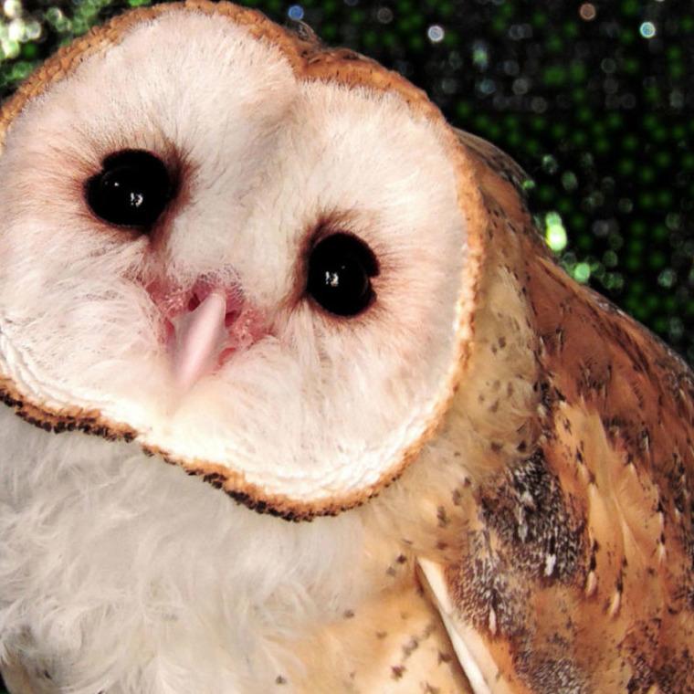 Barn Owl Honolulu Zoo Society