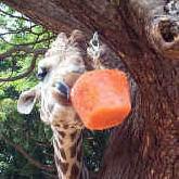 inset-giraffeenrichment