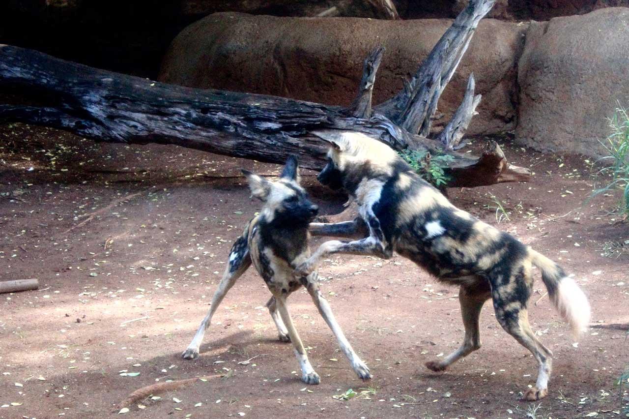 African Wild Dog Honolulu Zoo Society